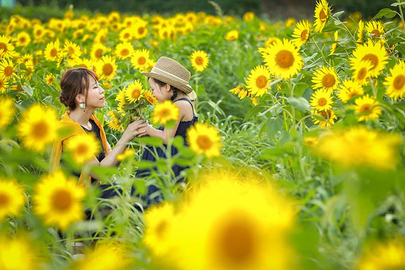 親子 向日葵畑